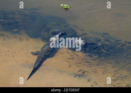Aerial view of a Nile Crocodile (Crocodylus niloticus) waiting in an African river surrounded by fish