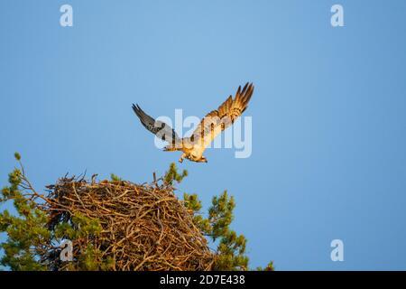 Osprey, Pandion haliaetus, flying away from the nest , Swedish Lapland, Sweden - Stock Photo