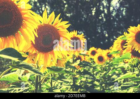Close up of beautiful blooming sunflowers growing in agricultural field - Stock Photo