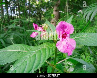 Wide-angle close-up of a fully open flower of the glandular balsam (lat: Impatiens glandulifera) also called Indian balsam, in the foreground and the