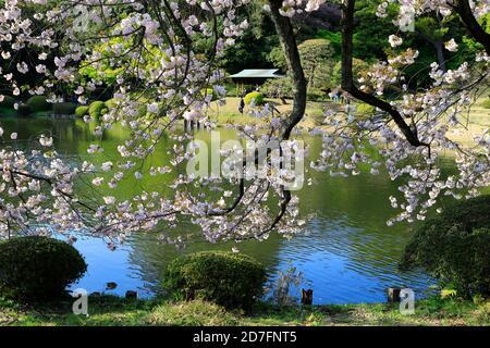 Cherry blossom of Shinjuku Gyoen garden.Shinjuku.Tokyo.Japan