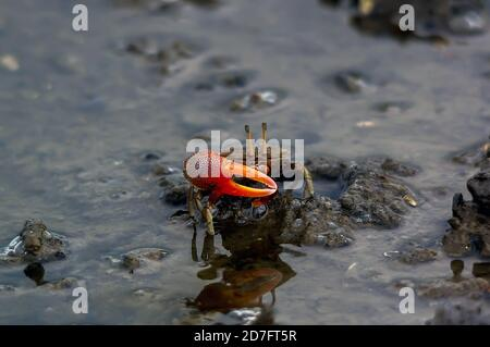 Fiddler crab on the sand or mud Stock Photo