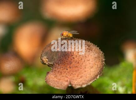 Thought to have originated in Africa, the Common Fruit Fly or Vinegar Fly now has a worldwide distribution. - Stock Photo