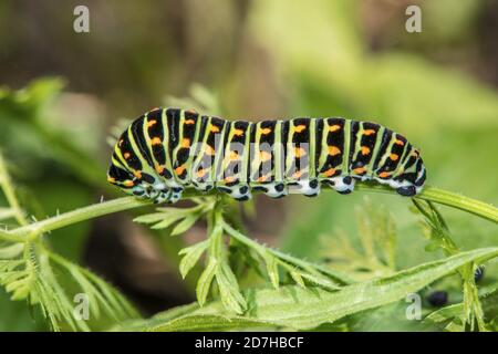 swallowtail (Papilio machaon), caterpillar on an umbellifer leaf, Germany
