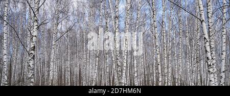 Dense birch forest, view of white tree trunks Stock Photo