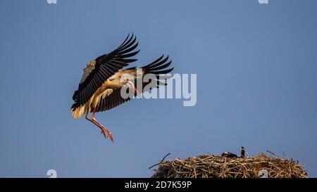 White stork in flight landing on the nest, Po valley, Italy - Stock Photo