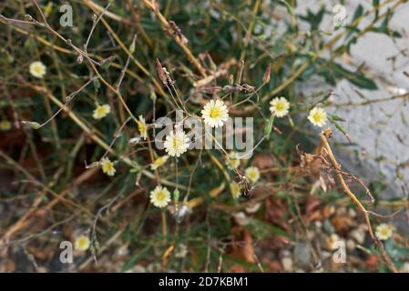 Lactuca serriola prickly leaves and yellow flowers close up - Stock Photo