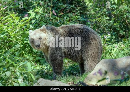 brown bear standing among vegetation, shot in park near Schapbach, Black Forest, Baden Wuttenberg, Germany - Stock Photo