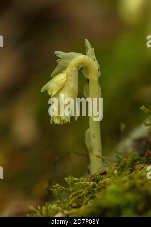 Yellow bird's-nest, Hypopitys monotropa, in flower in beech woodland, plantation; Dorset. - Stock Photo