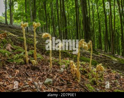 Clumps of Yellow bird's-nest, Hypopitys monotropa, in flower in beech woodland, plantation; Dorset. - Stock Photo