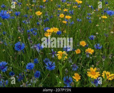 Cornflower, Centaurea cyanus, and Corn marigold, Glebionis segetum, in re-created 'arable weeds' patch. Dorset. Stock Photo