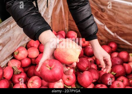 Woman picking up freshly picked gala apples at roadside fruit stand - Stock Photo