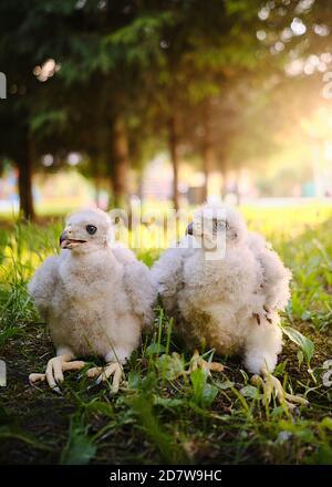 Northern hawk goshawk chick in nest - Accipiter gentilis. - Stock Photo