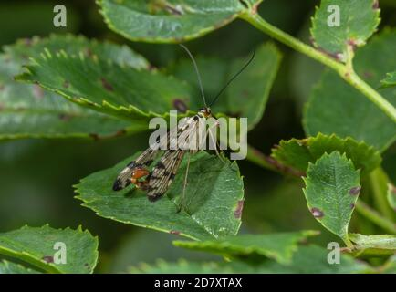 Male Common scorpionfly, Panorpa communis on rose leaf, in late summer - with upturned abdomen. - Stock Photo