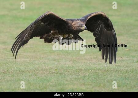 Golden Eagle sitting and in flight - Stock Photo