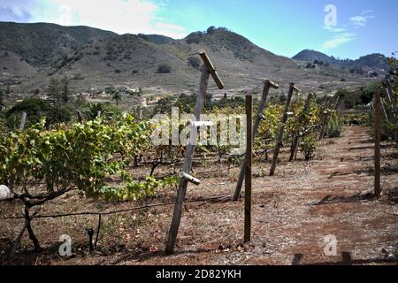 Part of a planted field of vines after harvest in late summer in a Tenerife valley in the Canary Islands, Spain - Stock Photo