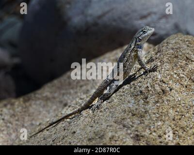 Common lizard on a rock with stones in background - Stock Photo