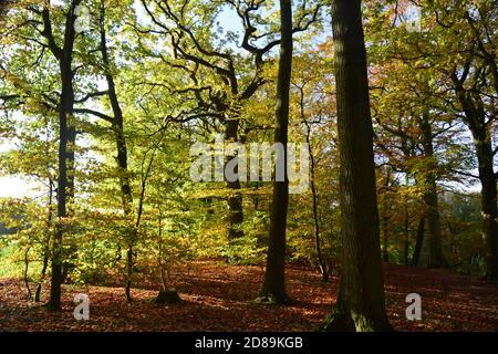 Oak and Beech woodland in autumn sunlight - Stock Photo