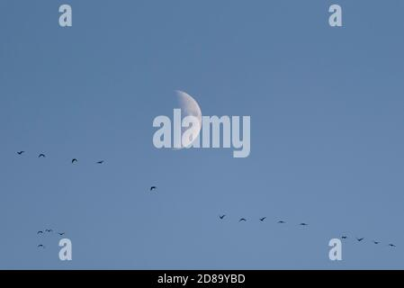 Zingst, Germany. 22nd Oct, 2020. The cranes (Grus grus), which cross the moon at Zingst in the sky, look almost tiny. Every evening the animals visit their resting places in the National Park Vorpommersche Boddenlandschaft. Credit: Stephan Schulz/dpa-Zentralbild/ZB/dpa/Alamy Live News - Stock Photo