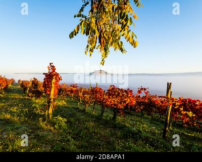 Morning fog landscape Motovun in Istria Croatia Europe Red Autumnal leaves vineyard in foreground and oldtown on hilltop protruding through - Stock Photo