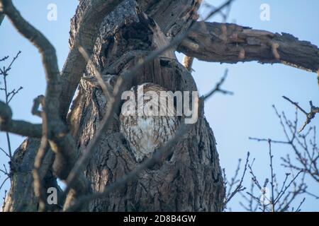 A Eurasian Tawny Owl (Strix aluco) in a tree - Stock Photo