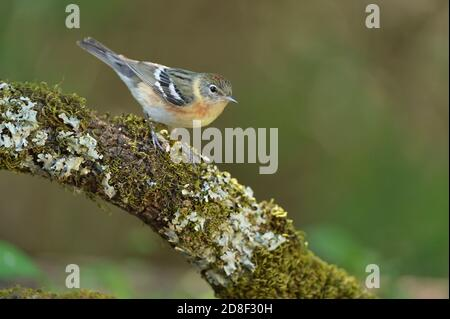 Bay-breasted Warbler (Dendroica castanea), female perched, South Padre Island, Texas, USA - Stock Photo