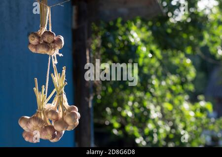 Bunches of freshly picked garlic hang on a sunny day in the background of green foliage - Stock Photo