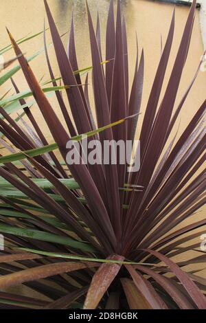 Cabbage palm Red Star leaves - Latin name - Cordyline australis Red Star plant isolated - Stock Photo