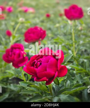 Red peonies in the garden. Blooming red peony. Red peony macro photo. Selective focus. Shallow depth of field. - Stock Photo