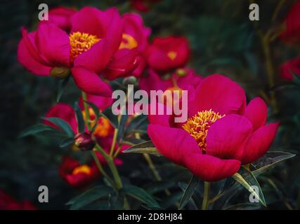 Pink peonies in the garden. Blooming pink peony. Pink peony macro photo. Selective focus. Shallow depth of field. - Stock Photo