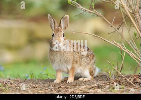 A close-up of an Eastern Cottontail Rabbit (Sylvilagus floridanus) - Stock Photo