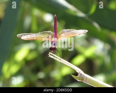red dragonfly closeup sitting on a broken stick in the jungle