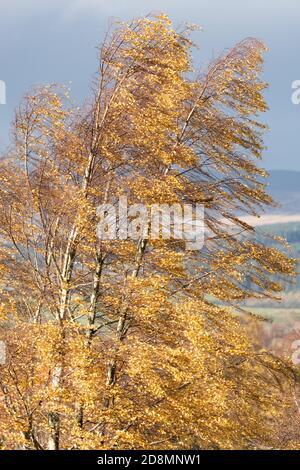 Silver Birch betula pendula leaves blowing in autumn wind - UK Stock Photo