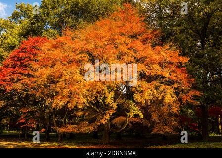 Yellow Acers in autumn colours at Winkworth Arboretum, Surrey, UK - Stock Photo