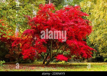 Stunning red Acer in autumn colours at Winkworth Arboretum, Surrey, UK - Stock Photo