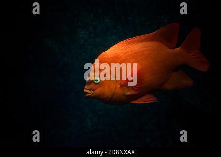Red orange Garibaldi or Garibaldi damselfish (Hypsypops rubicundus) swimming in the ocean. dark background. - Stock Photo