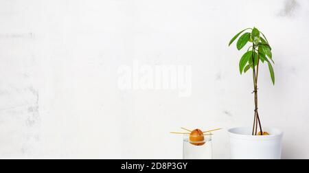 Young avocado plant in a white pot, sprouting avocado seeds in a glass of water, on a white background. The concept of growing indoor plants. Environm - Stock Photo