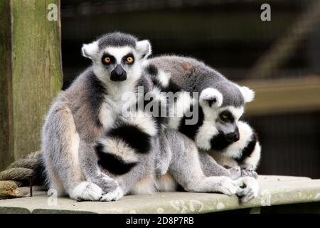 Two Ring-tailed lemurs, Lemur catta, at the Cape May County Zoo, New Jersey, USA