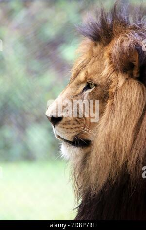 A male African Lion, Panthera leo, in profile at the Cape May County Zoo, New Jersey, USA