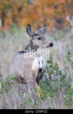 Mule deer doe (Odocoileus hemionus), Theodore Roosevelt NP, Autumn, North Dakota, USA, by Dominique Braud/Dembinsky Photo Assoc