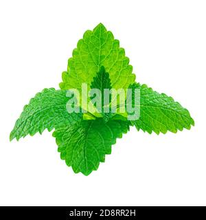 Fresh Lemon balm (Melissa officinalis) leaves isolated on a white background. Mint, peppermint close up - Stock Photo