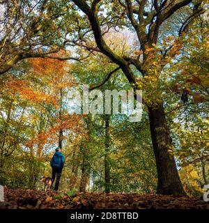 Ilkley, UK. 1 November 2020:  Person admiring the autumnal colours in the trees and leaves while walking a dog. Middleton Woods is famous for bluebells but autumn foliage is also spectacular, UK Rebecca Cole/Alamy News (c) Stock Photo