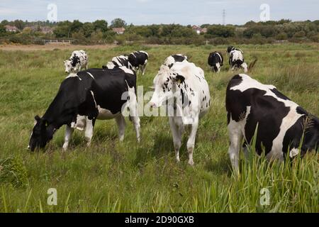 A herd of black and white cows grazing in a field in Wareham, Dorset in the UK