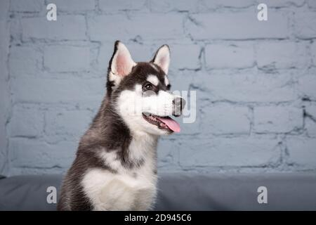 Portrait of young beautiful funny siberian husky dog enjoys on grey textile couch at home. Smiling face of domestic pure bred dog with pointy ears