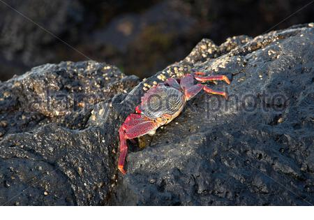 Red rock crab (Grapsus adscensionis) in the coast of San Andres, La Palma (Canary Islands). - Stock Photo