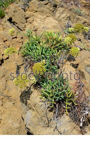 Sea fennel or samphire (Crithmum maritimum) is an edible plant native to Mediterranean and Canary Islands coast and western coastlines of Europe. - Stock Photo