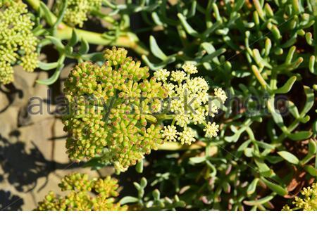 Sea fennel or samphire (Crithmum maritimum) is an edible perennial herb native to Mediterranean Basin coasts. Flowers and fruits detail. This photo - Stock Photo