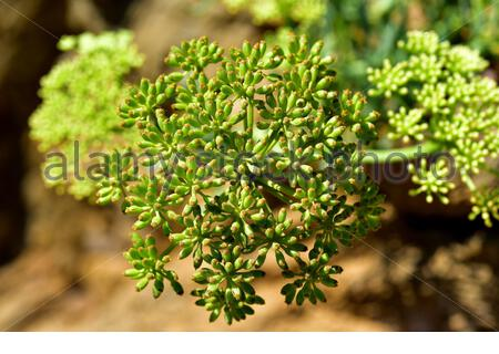 Sea fennel or samphire (Crithmum maritimum) is an edible perennial herb native to Mediterranean Basin coasts. Fruits detail. This photo was taken in - Stock Photo