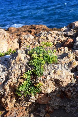 Sea fennel, rock samphire or samphire (Crithmum maritimum) is a perennial herb native to Mediterranean Basin coasts and western European coasts. Is - Stock Photo