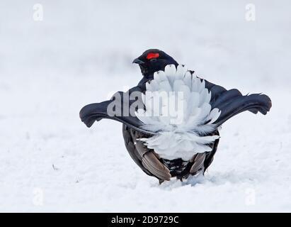 Black grouse (Lyrurus tetrix) Male displaying on snow, Scotalnd